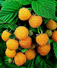 Load image into Gallery viewer, Fall Gold Raspberry Plant - Yellow Ever-Bearing Edible Fruit - 1 Bare Root Plant by Grower's Solution