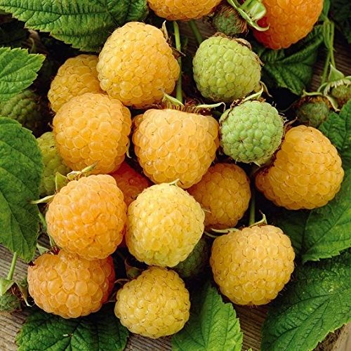 Fall Gold Raspberry Plant - Yellow Ever-Bearing Edible Fruit - 1 Bare Root Plant by Grower's Solution