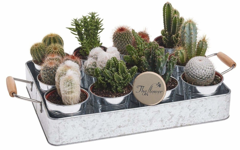 Cactus Selection 3 x Cacti Plants in Zinc Tin Chosen By Our Florists - The Gift Project