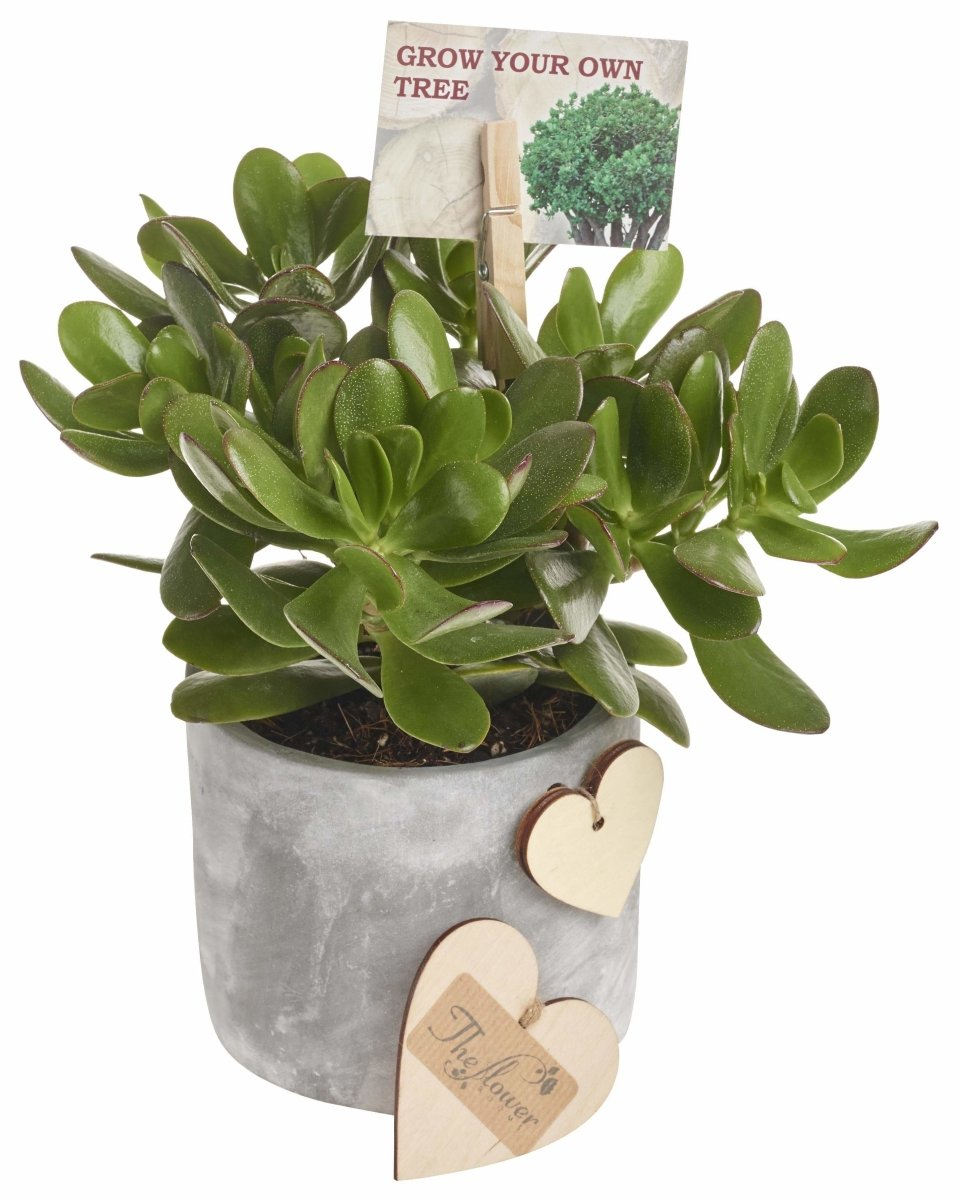 Money Plant in Modern Pot - Indoor Plant Gift - The Gift Project