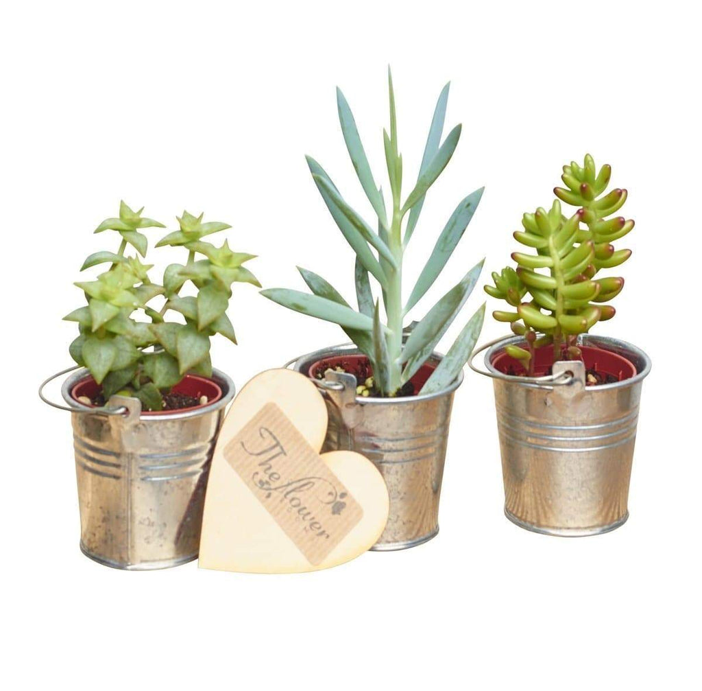 Succulent Plant Section - Flower Gift - The Gift Project
