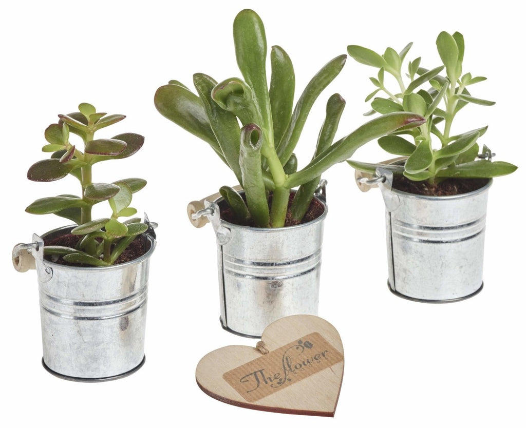 Tiny Money Plant Trio - Set of 3 Tiny Money Plants in Zinc Tin Gift Packaging - The Gift Project