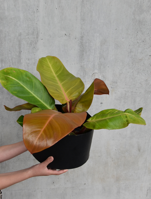 Philodendron `prince of orange`
