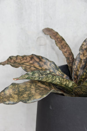 Sansevieria `coppertone`