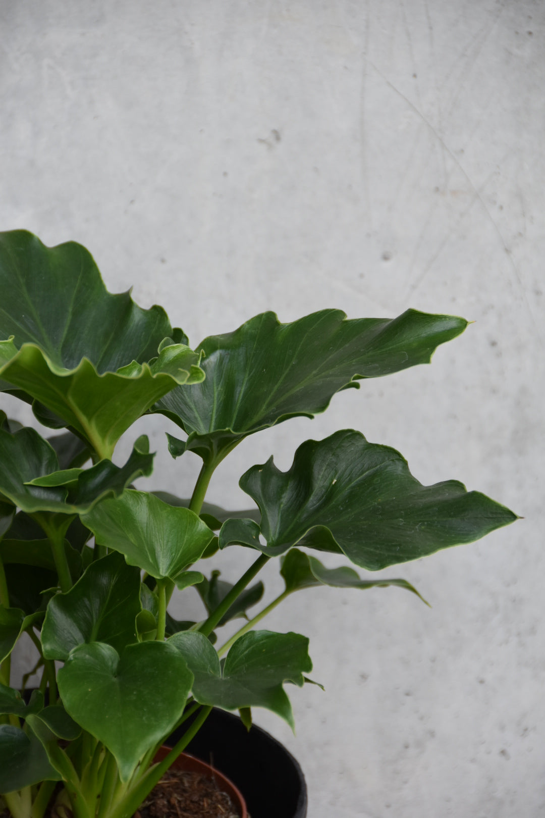 Philodendron pho1