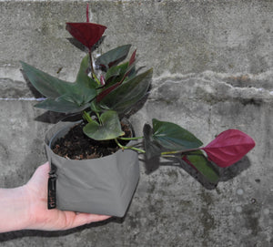 "Syngonium ""red arrow"""