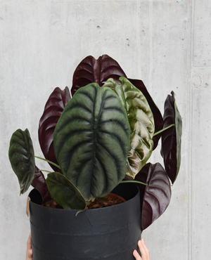 Alocasia `red secret` XL