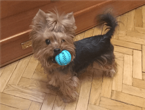 cute dog chewing cyan rubber ball