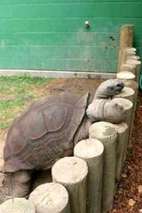 Mr. Mac Meet & Greet (Aldabra Tortoise)