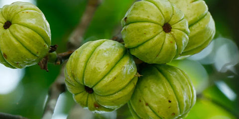 garcinia cambogia for shred supplements