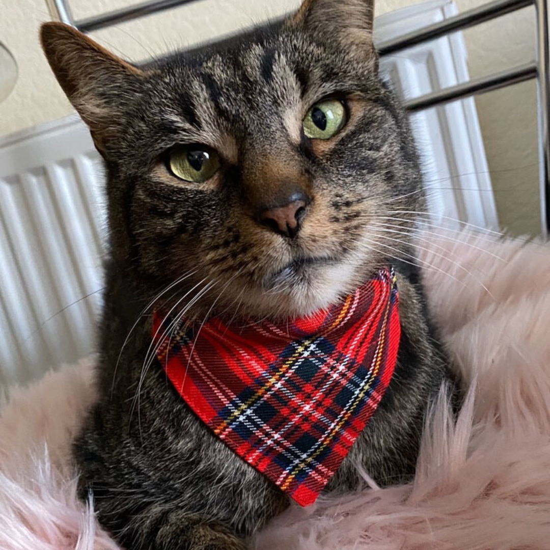 brown cat wearing a red tartan bandana