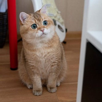hosico the cat