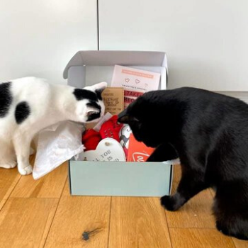 a black and a white cat investigating their gus and bella cat box