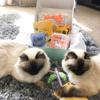 two ragdoll cats with their gus and bella cat box