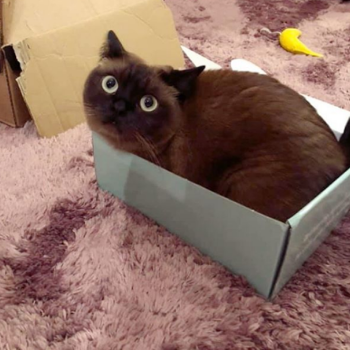 brown cat sat in a box