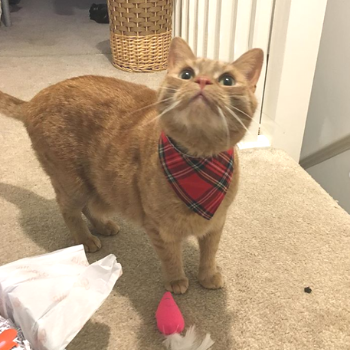 The reviewer's cat wearing red bandana