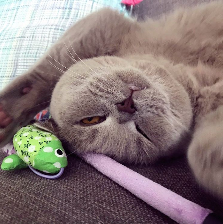 Cat playing with purple fish teaser toy