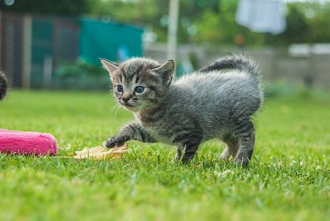 tabby kitten in the grass