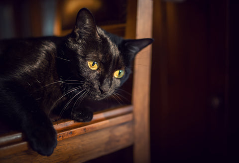 black cat in shelter