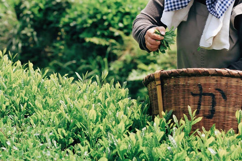 Tea farmer picking the youngest, most tender tea leaves during first harvest in Uji, Japan