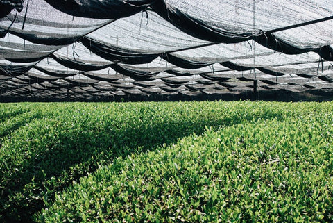 Green tea plants shaded to increase chlorophyll and L-theanine levels