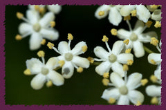 Identify elderberry by its flowers