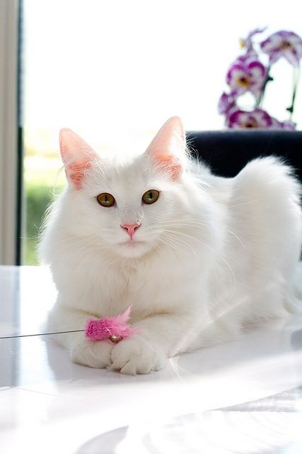 Cat Breeds 101: Turkish Angora