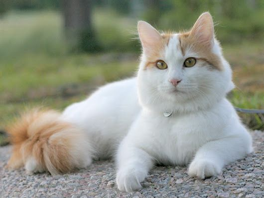 Cat Breeds 101: Turkish Van
