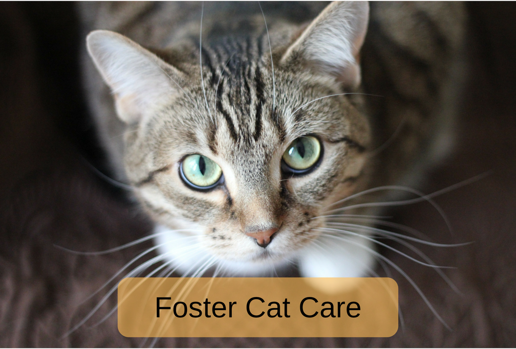 Foster Cat Care: What You Need to Know