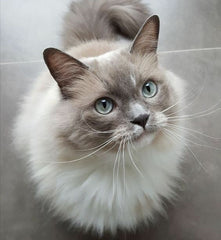 What Cat Breed Is Most Suitable For Me?