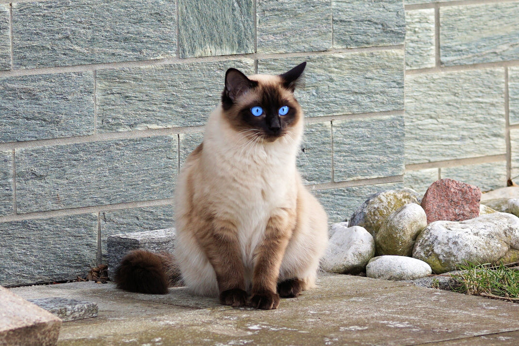 An In-Depth Look At Siamese Cats and Their Characteristics