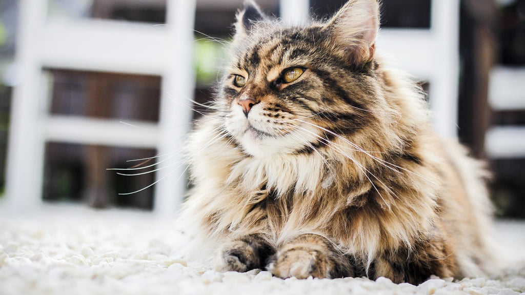 101 Introduction to Cat Breeds