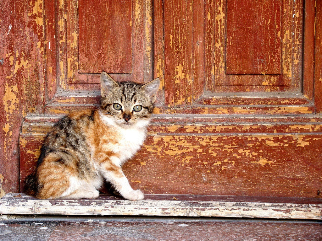 Cat Door Training For Outdoor Cats