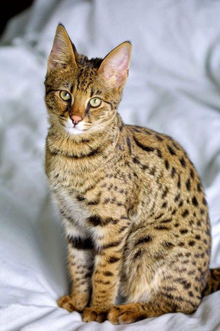 spotted cat ocicat