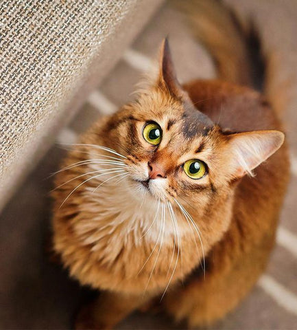 What Cat Breed Is Most Suitable For Me? – Lazy Pets Shop