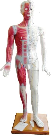 Life Size Human Acupuncture Model 71