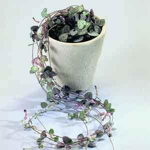 String of Hearts (Ceropegia woodii) - Geoponics Inc