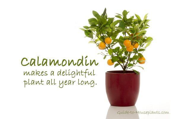 Calamondin Orange Tree (Indoors) - Geoponics Inc