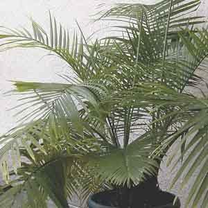 Majesty Palm (Ravenea rivularis) - Geoponics Inc