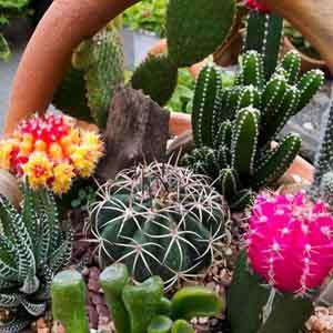 Cacti and Succulents Indoors - Geoponics Inc