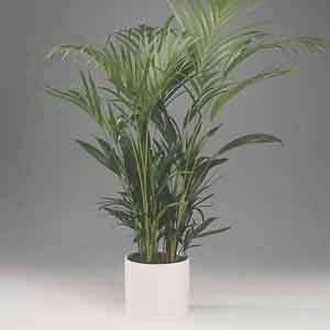 Areca Palm, Golden Cane Palm Indoors (Dypsis lutescens) - Geoponics Inc