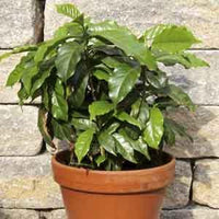 Arabian Coffee Tree Indoors (Coffea arabica) - Geoponics Inc
