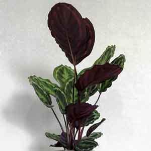 Prayer Plant, Rose-Painted Calathea (Calathea roseopicta) - Geoponics Inc
