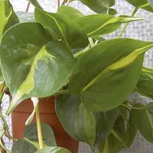 Heart-Leaf Philodendron 'Brasil' (Philodendron hederaceum)