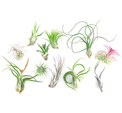 Air Plants Care Instructions