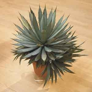 Agave Indoors (Agave species)