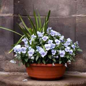 Annual Combination Planter Spring Viola Bowl (Viola cornuta) - Geoponics Inc