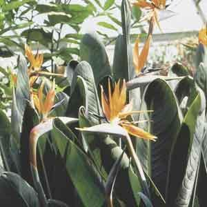 Bird of Paradise, Crane Flower (Strelitzia reginae) - Geoponics Inc