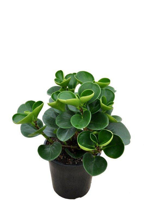 "Large Green Leaf Peperomia 5"" & 3.5"""
