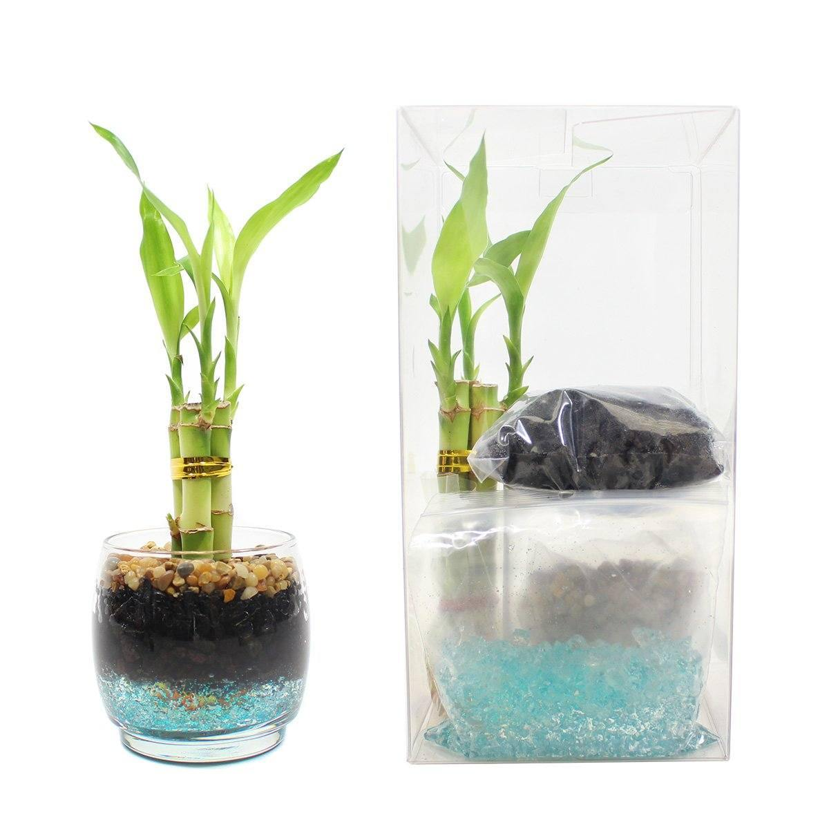 LUCKY BAMBOO KIT - Geoponics Inc